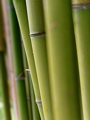 Bambus . . . (norbert.r) Tags: nature bamboo leaf plant greencolor closeup asia growth forest backgrounds tree tropicalclimate tropicalrainforest freshness japaneseculture japan outdoors botany beautyinnature flickrchallengegroup palmengarten