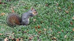 Nutfall (zeesstof) Tags: zeesstof texas brenham city tesascity texastown thanksgivingweekend daytrip cityscape picturesquetown squirrel texassquirrel foxsquirrel sciurusniger