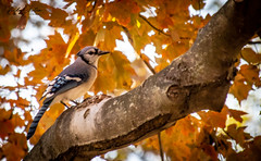 Blue Jay (vickyouten) Tags: bluejay jay bird nature wildlife washingtonmall washingtondc america usa vickyouten
