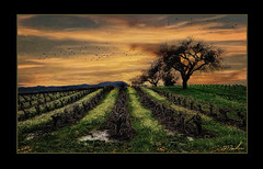 Sunset & Mustard II (A Work of Mark) Tags: sunset vineyard oaktrees scenic digitalart photoshop layers topazclarity topazadjust color sonomacounty aurorahdr
