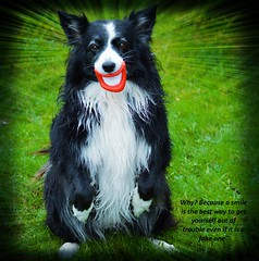 Putting on a fake smile (ASHA THE BORDER COLLiE) Tags: funny dog picture fake smile prop border collie ashathestarofcountydown connie kells county down photography