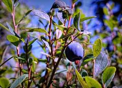 Low bush Blueberry (Explored) (JLS Photography - Alaska) Tags: blue blueberries alaska jlsphotographyalaska cmwd friday macro sky tree bush fruit berry