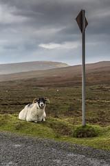 YES? (andyrousephotography) Tags: scotland isleofskye thequiraing trotternishridge landslip meallnasuiramach singletrack road switchback steep passingpoints staffin uig dieintheeast funeral coffin slipslidinaway whoops sheep tellitasitis