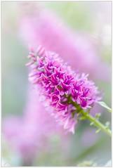 """""""Delicada"""" (Gerkraus) Tags: canon color flor botanica macro"""