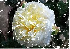 Sieh, wie fein und lieblich ist's, wenn Glieder (amras_de) Tags: rose rosen ruža rosa ruže rozo roos arrosa ruusut rós rózsa rože rozes rozen roser róza trandafir vrtnica rossläktet gül blüte blume flor cvijet kvet blomst flower floro õis lore kukka fleur bláth virág blóm fiore flos žiedas zieds bloem blome kwiat floare ciuri flouer cvet blomma çiçek zeichnung dibuix kresba tegning drawing desegnajo dibujo piirustus dessin crtež rajz teikning disegno adumbratio zimejums tekening tegnekunst rysunek desenho desen risba teckning çizim