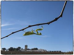 MANTIS RELIGIOSA (BLAMANTI) Tags: mantis insectos alienigena extraterrestre exotico hermoso hermosa sx60 canon blamanti photoshop viñedos viñas viticultura poda andalucia castillodemacharnudo elmajuelo canonpowershotsx60 jerezdelafrontera