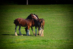 You scratch my back, I'll scratch yours (PhotosLogos by Julia Byl) Tags: horse friends field pasture grass green clydesdale