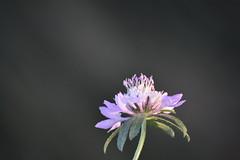 Scabiosa atropurpurea (esta_ahi) Tags: santcugatsesgarrigues flor flora flores silvestres scabiosa dipsacaceae caprifoliaceae scabiosaatropurpurea penedès barcelona spain españa испания