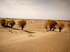 Por la cuenca del Deriya. Desierto de Taklamakán. China (escandio) Tags: taklamakan populuseuphratica keriya china2018 china 2018 5 4 xinqian