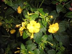 469 (en-ri) Tags: belledinotte giallo cespuglio bush verde leaves foglie mirabilis jalapa sony sonysti