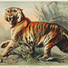 Royal bengal tiger from Johnson's household book of nature (1880) by John Karst (1836-1922).