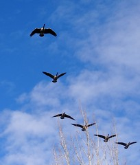 Canada geese (EcoSnake) Tags: geese canadageese waterfowl wildlife flying winter december idahofishandgame naturecenter