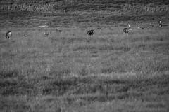 Deer - Rocky Mountain Arsenal - Denver, Colorado (BeerAndLoathing) Tags: 2018 rockymountainarsenal usa denver wildlife 77d bw colorado blackwhite deer canon fall september autumn blackandwhite canoneos77d