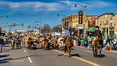 Herding the cattle (Kool Cats Photography over 11 Million Views) Tags: canon canoneos6d canon24105f4lisusmlens cattle stampede festival o p photography oklahoma oklahomacity landscape cattledrive cowboys western