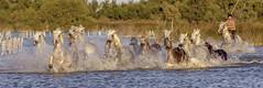 C'est parti! (Xtian du Gard) Tags: xtiandugard camargue chevaux nature 3x1 eau water gardian provence france