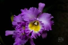 Orchid Purple. (rumerbob) Tags: orchidpurple orchid flower floral flowergarden fauna flowerphoto macro macroflower macrophotography nature naturewatcher naturephotography longwoodgardens canon7dmarkii canon100mmmacrolens