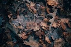 Farewell (Tom Levold (www.levold.de/photosphere)) Tags: afsnikkor70300mmed fujixt2 köln nature forest metabonesnikonfadapter königsforst cologne wood wald natur laub blätter foliage leaves winter