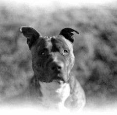 That look (zoltannagel) Tags: norita 66 noritar 80mm f2 wide open bokeh wonder dog pitbull black white orwo np15 iso asa 25 film negative epson v600 ilford ilfotec lc29 expired portrait