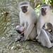 Vervet Monkeys (Chlorocebus pygerythrus) females with youngs ...