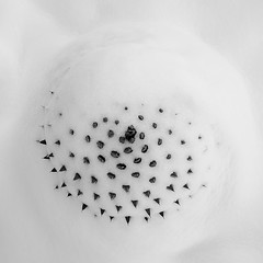 Snow Covered Agave, Study 4 (agavephoto) Tags: agave snow winter melt abstract spiral plant botany pattern blackandwhite fineart spines nature pokeythings notaseat ocahui portrait water minimalism minimal spine thorn symmetry centered circle highkey moreofthesame thaw desert garden donotpet form natural itsreal