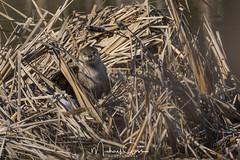 Otter Getting Some Sun (NikonDigifan) Tags: mammal animal otter naturephotography nature wildlifephotography wildlife turnbullnationalwildliferefuge wildliferefuge winter pacificnorthwest nikond850 nikon nikon20050056 mikegassphotography