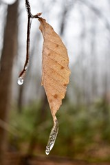 Frosen (phthaloblu) Tags: leaf frozenraindroplet branch twig woods icestorm
