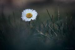 Dolce Misterioso (shawn~white) Tags: 100mm canon6d ef100mmf28macro macro nik beauty calm cool daisy dark demure dreamy elegance enchanting filmlook flower glowing grass melancholy nostalgia romantic solitude vintage winter ©shawnwhite