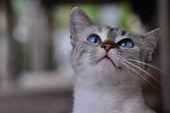 Blue eyed beauty ! (natureloving) Tags: catportrait chat siamesecat animal nature natureloving nikon d90 nikonafsdxnikkor18300mmf3563gedvr cc100