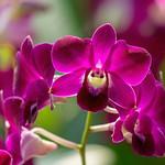 Orchids thumbnail