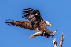 American Bald Eagle Landing (dbadair) Tags: outdoor nature wildlife 7dm2 canon florida bird