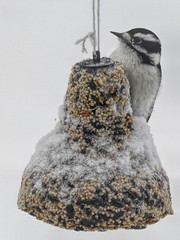 Downy Woodpecker (☼Warming Up Again☼) Tags: birds seedbells downywoodpecker