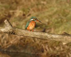 Photo of Kingfisher