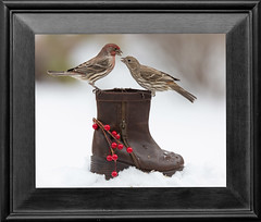 Head to Head (dshoning) Tags: 52 weeks 2019 frame birds boot winter snow finches iowa january
