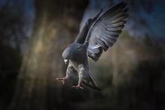The long jumper (Paul wrights reserved) Tags: pigeon pigeons wing wings longjump athletics bird birding birds birdphotography birdwatching birdinflight bif