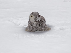 Robert Snowy Owl CRC making snowy angels IMG_3697_edited-1 (Jennz World) Tags: ©jennifermlivick canadianraptorconservancy vittoria ontario canada snowyowl owl raptor winter snow