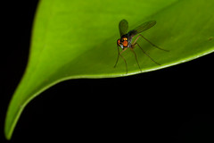 """Do You Know How to Make A Redeye?"" pt. 3 - _TNY_7449 (Calle Söderberg) Tags: macro canon canon5dmkii canoneos5dmarkii canon5dmarkii 5d2 flash raynox dcr250 ringflash yongnuo yn14ex thailand blackbackground insect fly fluga dolichopodidae condylostylus leaf redeyes styltfluga metallic green longlegs longlegged diptera sciapodinae f22"