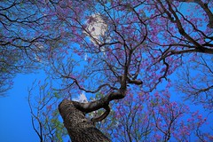 Jakaranda Bloom (namhdyk) Tags: jakaranda bloom flower blossoms blossomtree trees canon canonpowershot canonpowershotg7x australia sydney