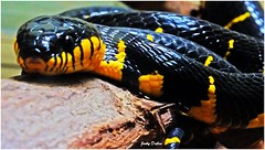 Malayan Mangrove Cat-eye Snake (Jinky Dabon) Tags: fujifilmfinepixhs35exr wwwtesco wwwtescomteachingresourcereptilesthemedpack11567141 reptiles reptile reptilians layeggs eggs scales scaly venomous venom fangs poisonous deadly bandedkrait bungarusfasciatus malayanmangrovecateyesnake snakes macro