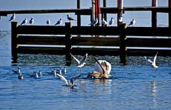 Scène de vie des oiseaux (Diegojack) Tags: vaud suisse préverenges d500 nikon nikonpassion léman oiseaux scènedevie cygnes mouettes goélands agitations