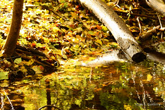 October - Reflections in the brook (Stan S. Gallery) Tags: water wet wetreflections leaves wood autumn autumnal fall fallcolors foliage forest woods log trees october sunlight canonrebel brook creek stream ripples sunrise