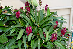 Arpophyllum alpinum species orchid 11-18 (nolehace) Tags: arpophyllum alpinum species orchid 1118 specimen fall nolehace sanfranciso fz1000 flower bloom plant