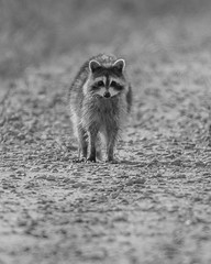 Raccoon 1 / Stupid Human 0 (flintframer) Tags: raccoon mamals usa america indiana muscatatuck nwr national wildlife refuge nature bw black white monochrome wow dattilo canon eos 7d markii ef600mm