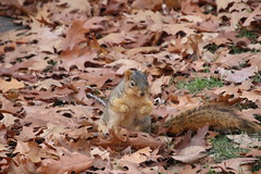 Fox Squirrels in Ann Arbor on an Autumn day at the University of Michigan - November 28th, 2018 (cseeman) Tags: gobluesquirrels squirrels foxsquirrels easternfoxsquirrels michiganfoxsquirrels universityofmichiganfoxsquirrels annarbor michigan animal campus universityofmichigan umsquirrels11282018 fall autumn eating peanuts acorns novemberumsquirrel