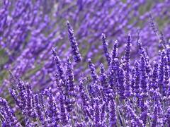 P1810028 (alainazer2) Tags: valensole provence france fleurs flowers fiori lavande lavanda lavander fields champs