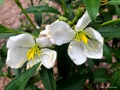 Melastoma malabathricum subsp. malabathricum cv. 'Alba' - Blue Tongue, Straits Rhododendron (Black Diamond Images) Tags: melastoma melastomamalabathricum melastomamalabathricumsubspmalabathricumcvalba bluetongue straitsrhododendron melastomataceae arfp warfp ntrfp cyrfp qrfp nswrfp tropicalarf subtropicalarf monsoonarf openforest uplandarf arfflowers whitearfflowers dural lowlandarf whitefp hwrfdarfp harietswalkrainforest harietswalk sydney melastomamalabathricumsubspmalabathricumalba