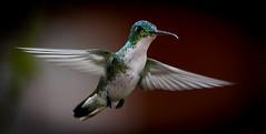 Andean Emerald (Amazilia franciae) In-Flight (mharoldsewell) Tags: 150600mm 150600mmf563dgoshsm 2018 andeanemerald d750 ecuador nikon sigma sport tandayapa bird birds mharoldsewell mikesewell photos amaziliafranciae hummingbird flight