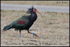 Luna (Paolo Bertini) Tags: ibis eremita geronticus waldrapp boscomantico verona birding science reintroduction wintering bird birdwatching