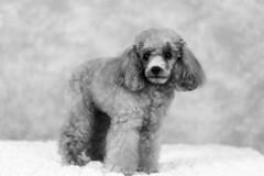 Tina-LR-DSC_2697-2 (studiofuntas) Tags: プードル トイプードル ティーカッププードル poodle toypoodle teacuppoodle モノクローム monochrome 犬 dog pet ペット ロケーション撮影 リクエスト撮影 locationphoto locationshooting