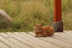 ginger cat (semper_scifi) Tags: cat cats ginger solovki russia north red