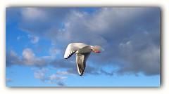 Seagull (elnina999) Tags: seagull flying air animal bird white coastbalticsea sopot poland mobilephonephotography nokialumia1020 travelphotography beach sea nature sky soar wings beautiful free blue sunnyday clouds